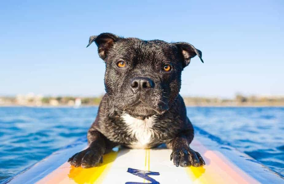 Dog Sitting on Belly on a Stand Up Paddleboard